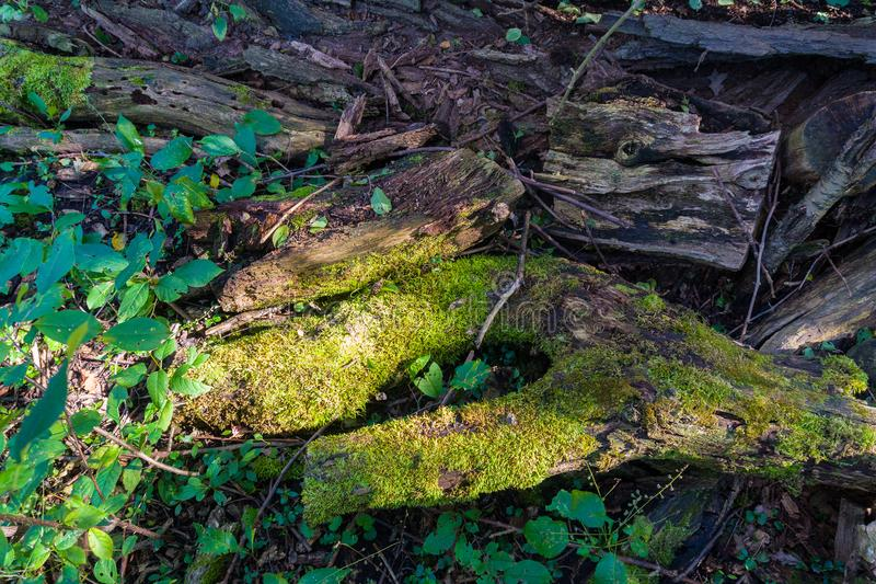 The trunk of a tree destroyed by time and covered with moss royalty free stock photos
