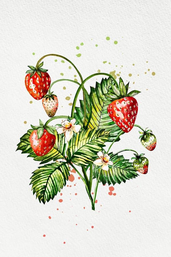 Fragola disegnata a mano della pittura dell'acquerello su fondo bianco illustrazione delle bacche illustrazione vettoriale
