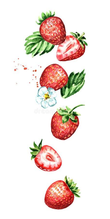 Fragola matura rossa di caduta delle bacche, composizione verticale Illustrazione disegnata a mano dell'acquerello, isolata su fo illustrazione di stock