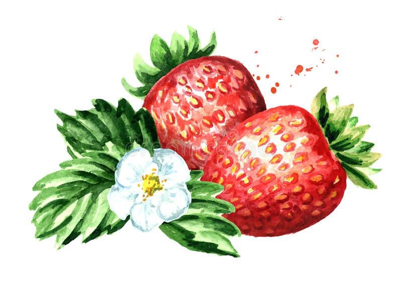 Fragola rossa delle bacche con il fiore e le foglie verdi Illustrazione disegnata a mano dell'acquerello isolata su fondo bianco royalty illustrazione gratis