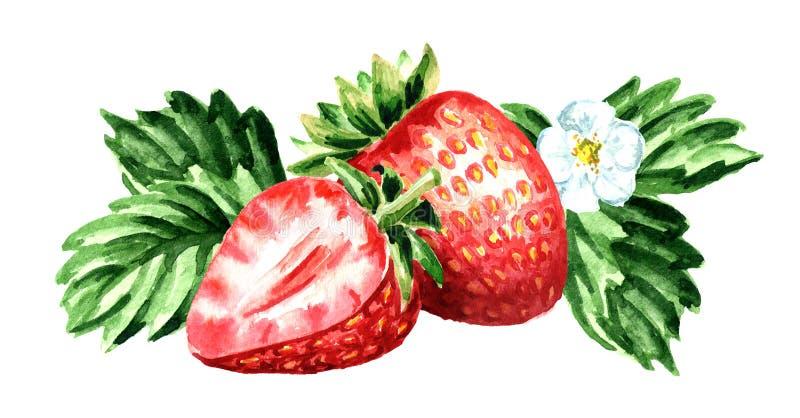 Fragola rossa delle bacche con il fiore e le foglie verdi Illustrazione horisontal disegnata a mano dell'acquerello isolata su fo royalty illustrazione gratis
