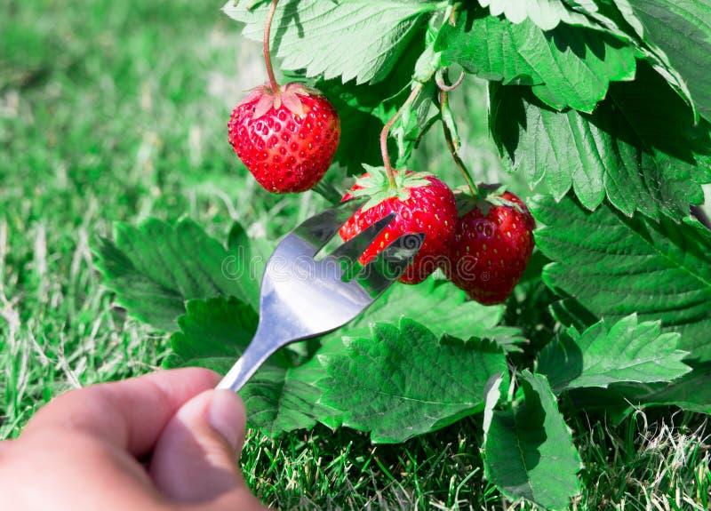 Fragola rossa matura fresca e una forcella con una bacca Bush si sviluppa nel giardino qualità superiore, concetto dell'alimento  fotografie stock