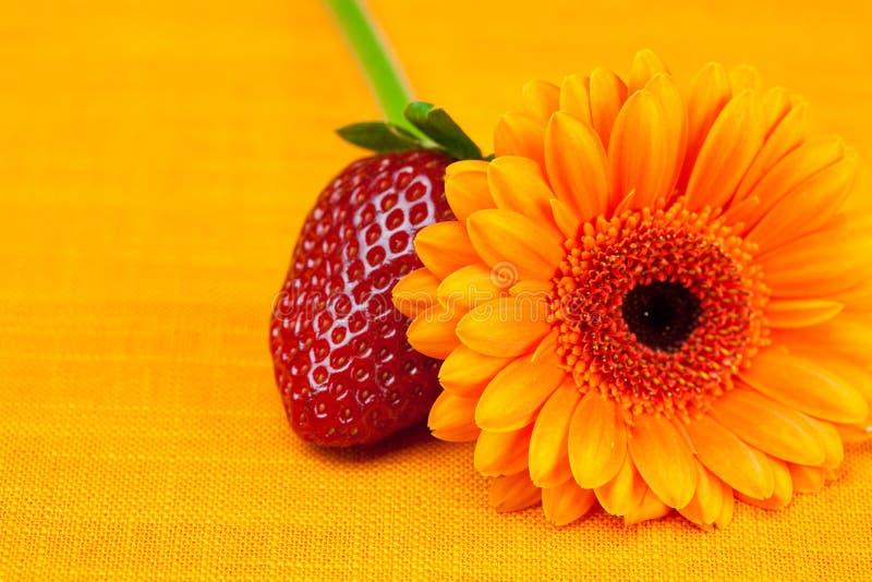 Fragole del fiore del Gerbera fotografia stock