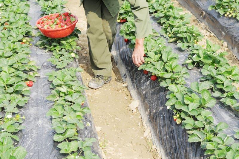 Fragole di raccolto nel campo