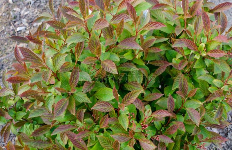 Fragrans de Viburnum de farreri de Viburnum - viburnum de Farrer Bush avec les feuilles lumineuses avant la floraison photos stock