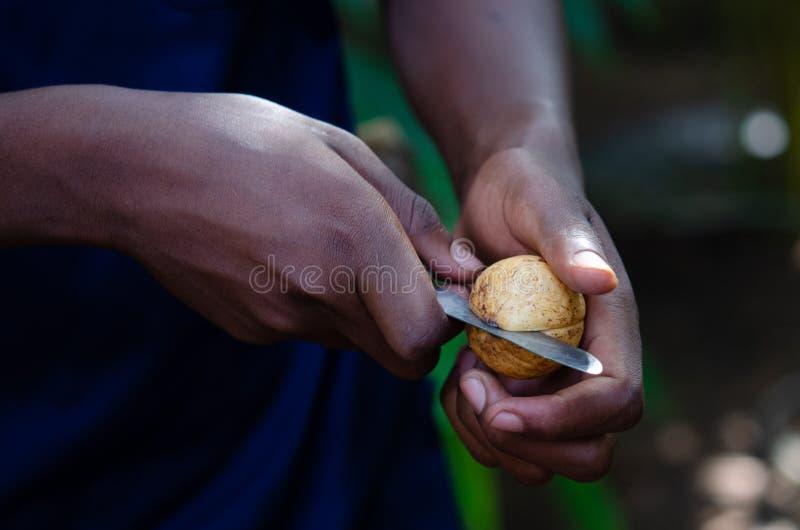 Fragrans do Myristica - noz-moscada Zanzibar, em fevereiro de 2019 fotos de stock