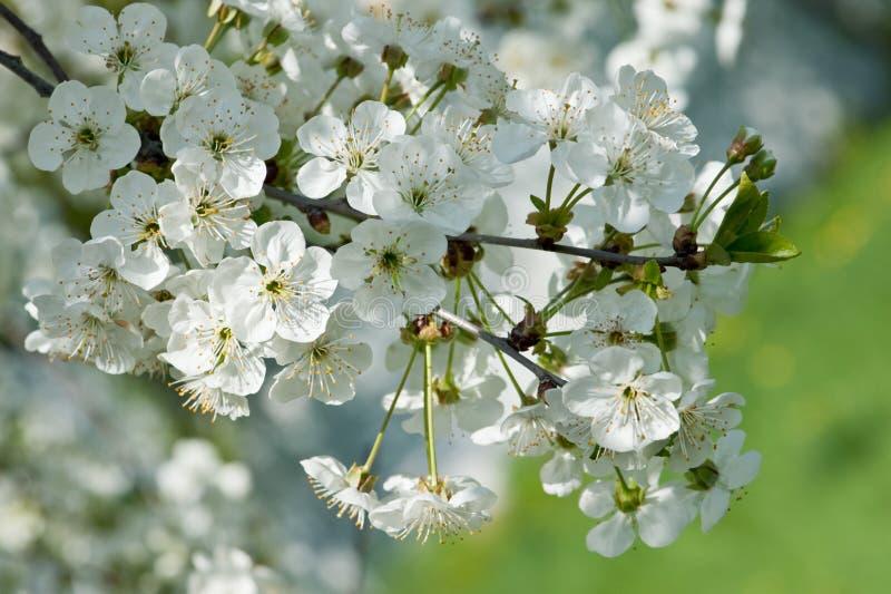 Fragrant Apple Tree Flowers Stock Photos
