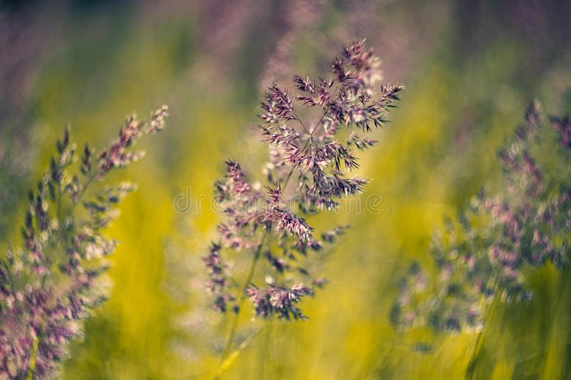 Fragrant ear and meadow bluegrass close-up. Flowering grass of the field macro.  stock images