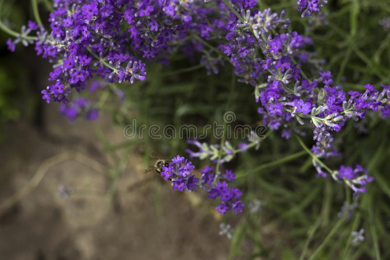 Fragrant lilac lavender grows in the garden, the bee collects nectar. Beautiful plant, flower. Health concept, aromatherapy.  stock image