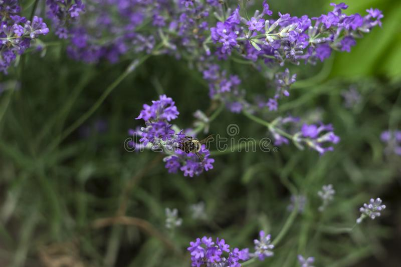 Fragrant lilac lavender grows in the garden, the bee collects nectar. Beautiful plant, flower. Health concept, aromatherapy.  stock photography