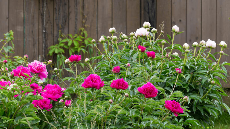 Fragrant peonies flowers in the garden royalty free stock image