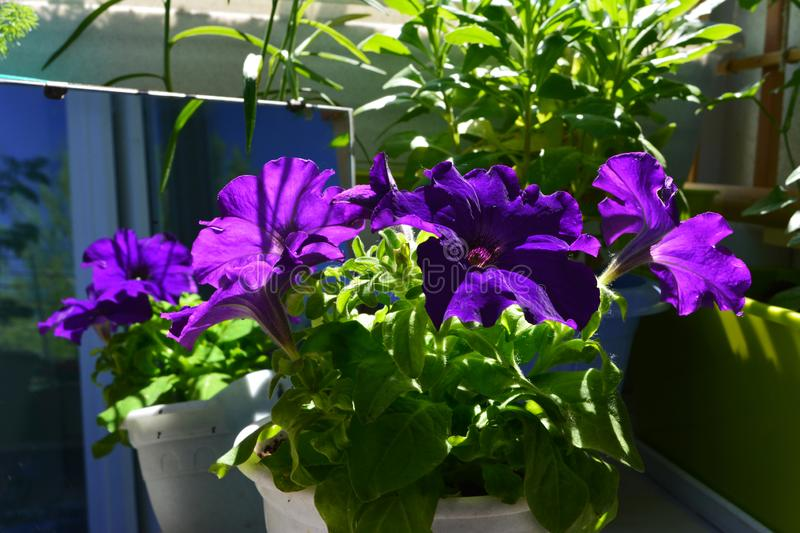 Fragrant violet petunia flowers. Unusual floral design of balcony garden with mirror royalty free stock images