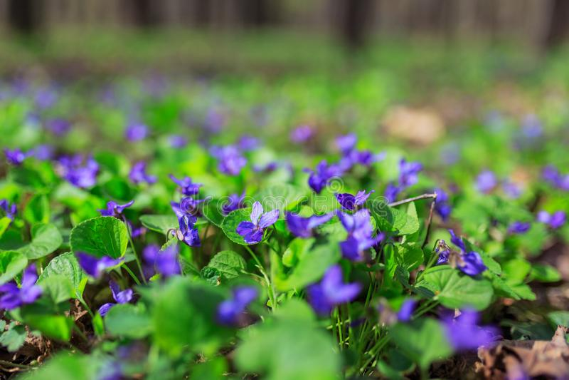 Fragrant violets wild flower English Sweet Violets, Viola odorata. royalty free stock images