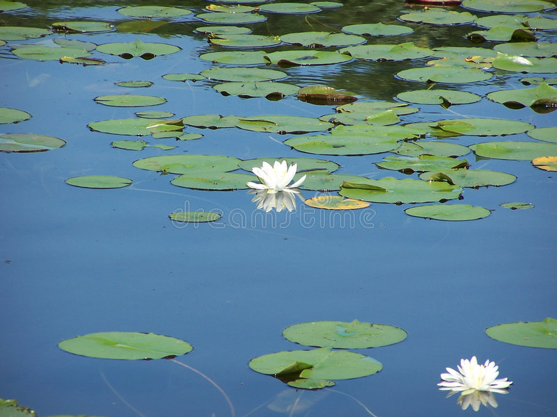 Fragrant Water Lilies stock photography