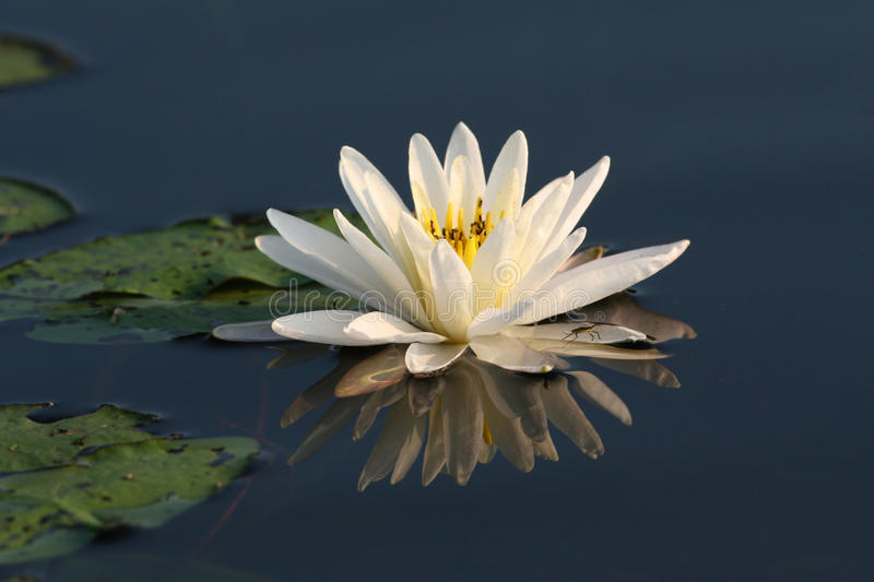 Download Fragrant Water Lily With Lily Pads Stock Photo - Image: 18427140