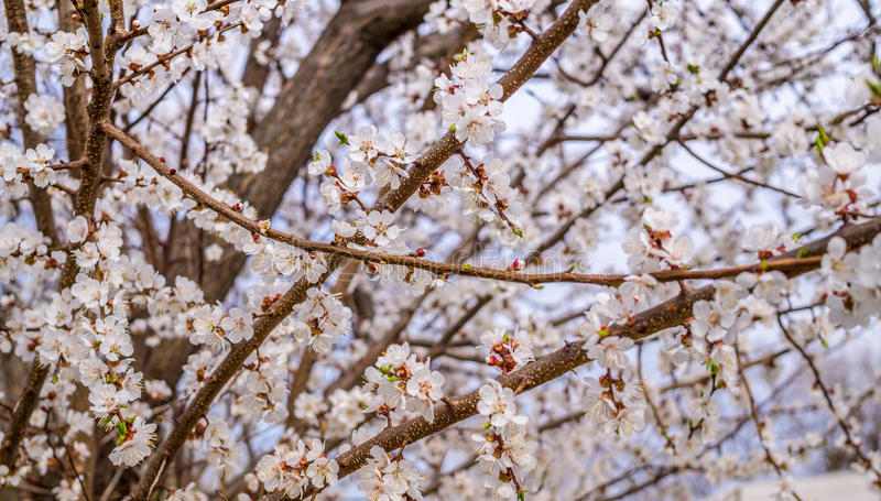 Fragrant white flowers of the apricot tree in early spring stock download fragrant white flowers of the apricot tree in early spring stock image image of mightylinksfo Gallery