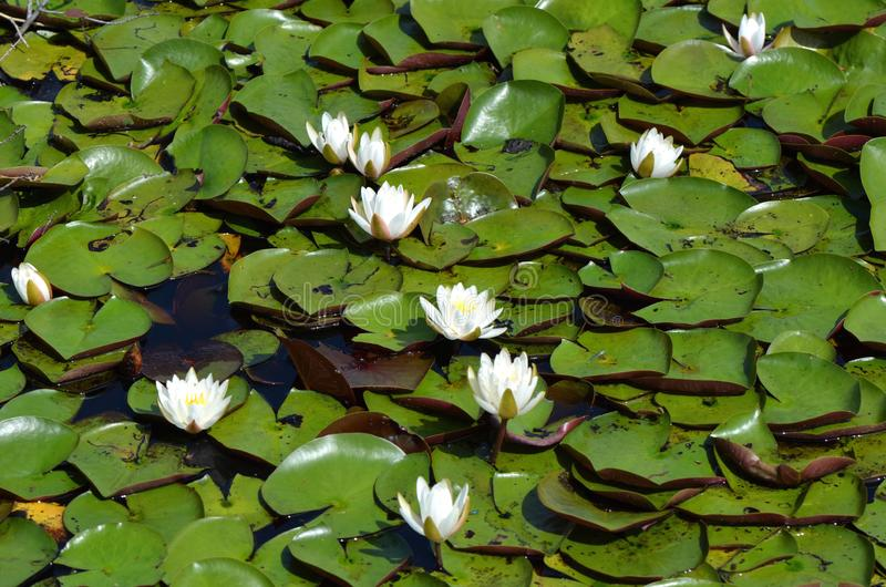 Fragrant White Water Lily. A still pond covered with fragrant white water lilies, Nymphaea odorata royalty free stock photography