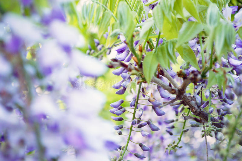 Fragrant Wisteria in all its glory stock images