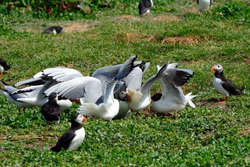Frailecillo atacado por las gaviotas, reserva de naturaleza de las islas de Farne, Inglaterra imagen de archivo libre de regalías