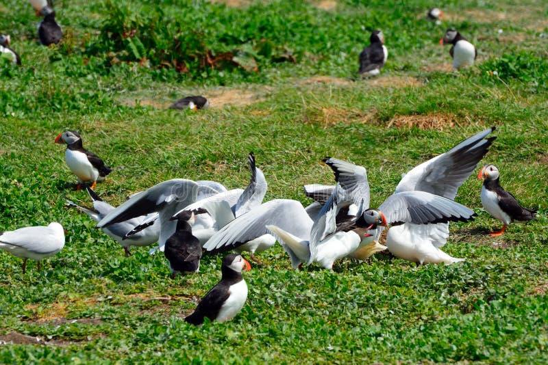 Frailecillo atacado por las gaviotas, reserva de naturaleza de las islas de Farne, Inglaterra fotos de archivo libres de regalías