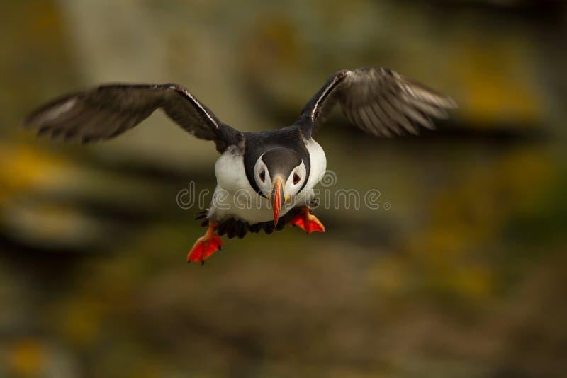 Frailecillo atlántico (arctica del Fratercula) en vuelo fotos de archivo libres de regalías