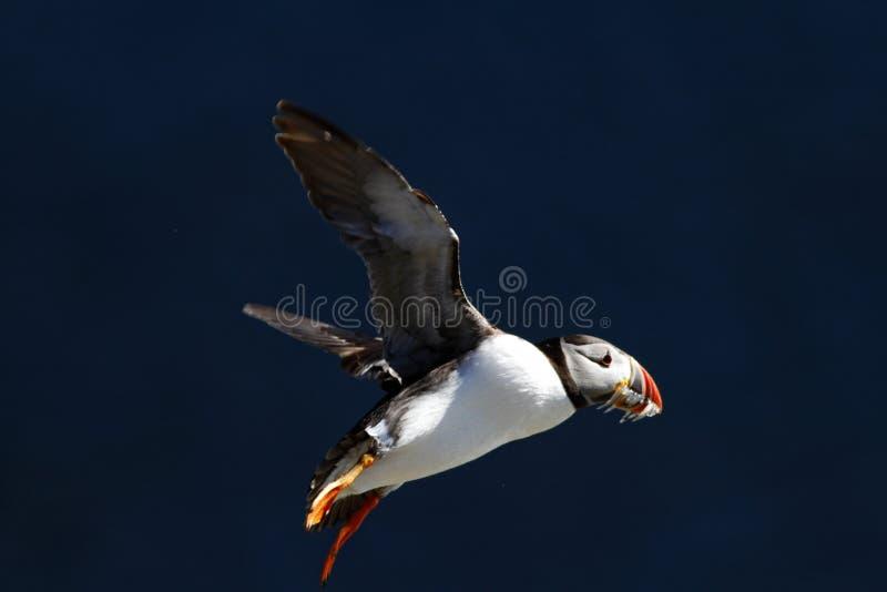 Frailecillo atlántico con los pequeños lanzones en su vuelo del pico contra el océano azul marino fotografía de archivo