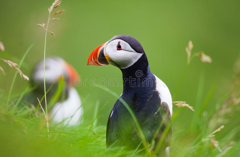 Frailecillo atlántico en la hierba, Islandia imagenes de archivo