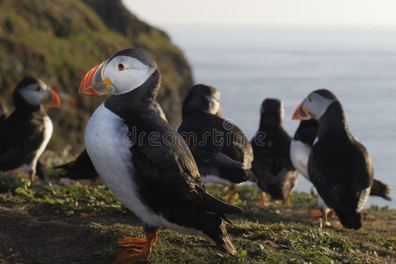 Frailecillo atlántico en la isla de Skomer, País de Gales fotos de archivo