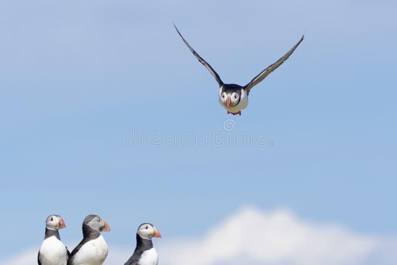 Frailecillo atlántico en vuelo contra el cielo azul fotos de archivo