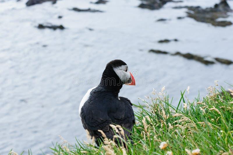 Frailecillo en la parte posterior, la mascota y el símbolo de Islandia imagen de archivo libre de regalías