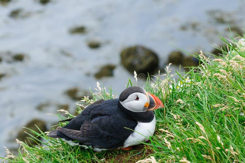 Frailecillo, mascota y símbolo de Islandia imágenes de archivo libres de regalías