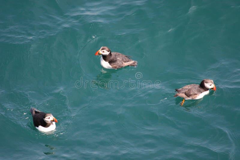 Download Frailecillos Una Abundancia Foto de archivo - Imagen de rojo, seabird: 178306