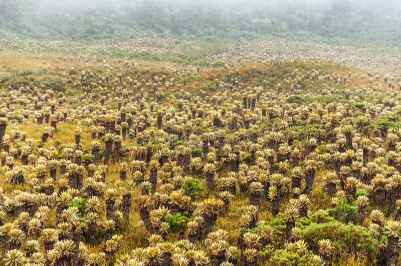 Frailejon växter i Colombia arkivbild