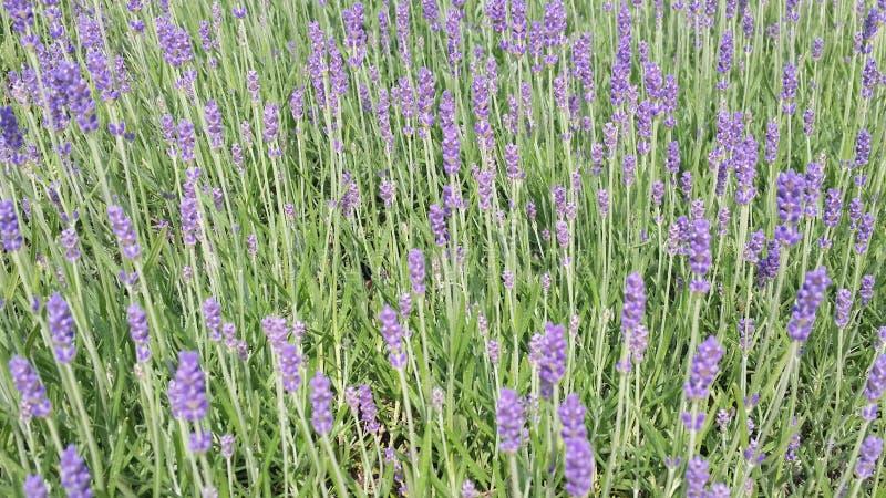 frais Violet Lavender de bourgeonnement au parfum délicieux photographie stock
