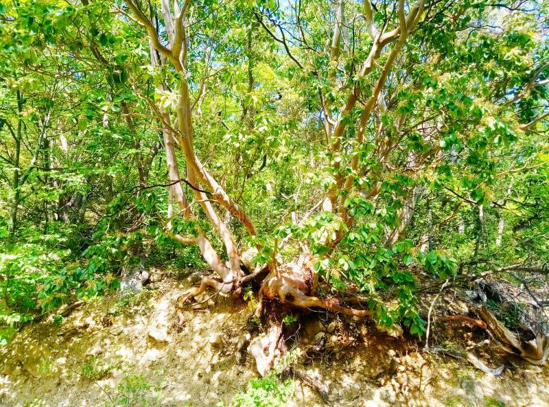 Fraise - arbre sans scrupule Arbre exotique Unedo L d'Arbutus Les feuilles sont utilisées pour bronzer le cuir Arbre nu montre l' photographie stock libre de droits