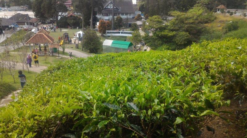 Fraise d'usine de thé à l'agro parc technologique en MARDI Cameron Highlands Malaysia photo stock