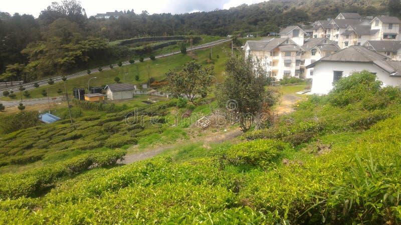 Fraise d'usine de thé à l'agro parc technologique en MARDI Cameron Highlands Malaysia photographie stock libre de droits
