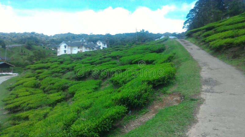 Fraise d'usine de thé à l'agro parc technologique en MARDI Cameron Highlands Malaysia images stock