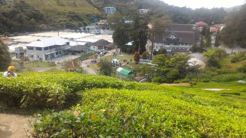 Fraise d'usine de thé à l'agro parc technologique en MARDI Cameron Highlands Malaysia photographie stock