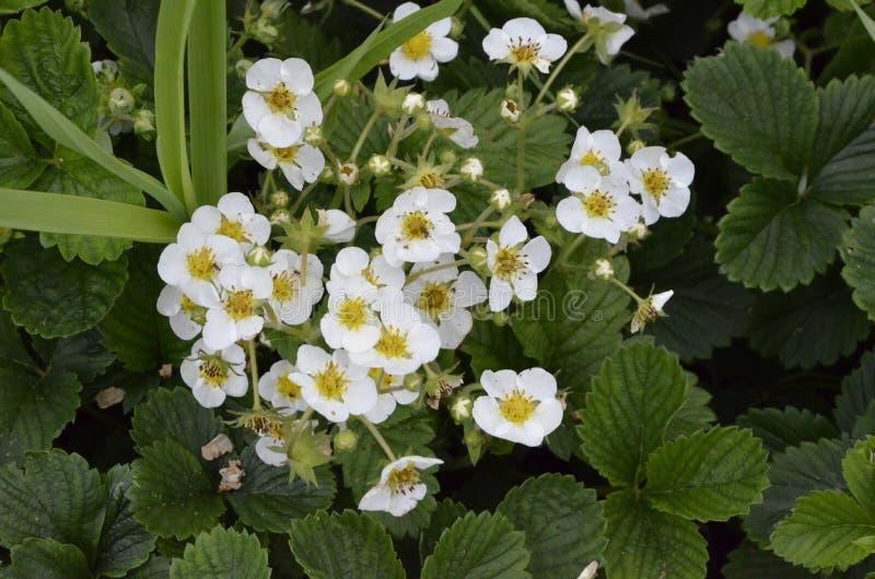 Fraise de jardin fleurissante de Bush avec un bon nombre de tiges de fleur photo libre de droits
