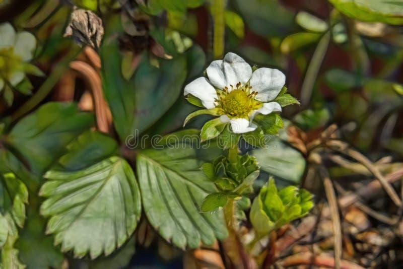 Fraise de région boisée ou avec d'autres fraisier commun de nom et feuilles vertes en nature images libres de droits