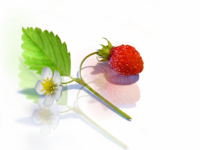 Fraise-goût Image stock