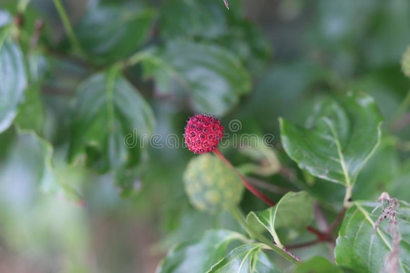 Fraise japonaise photo stock