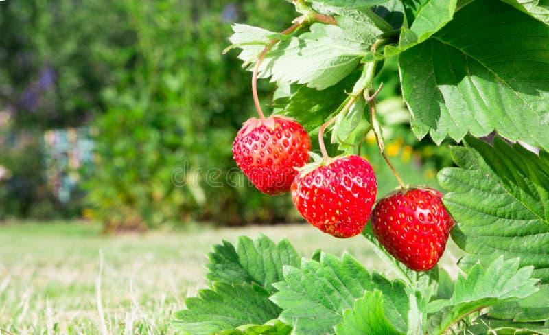 Fraise rouge mûre fraîche Bush se développent dans le jardin image stock