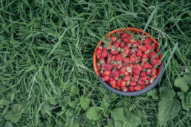 Fraises dans le panier sur l'herbe image stock