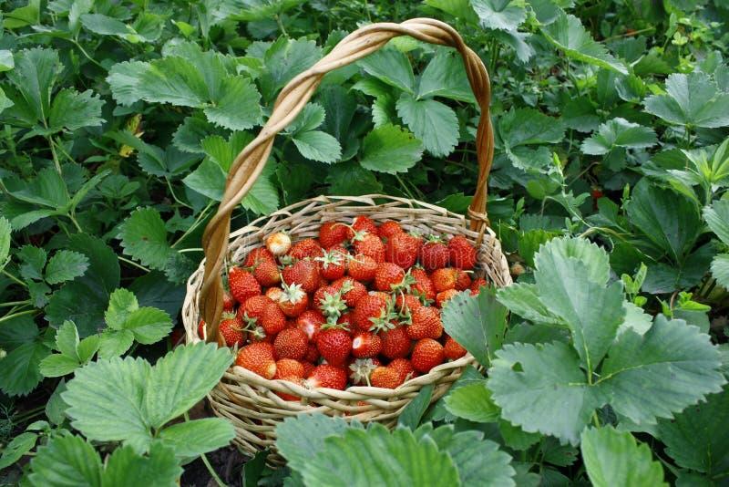 Fraises juteuses fra?ches avec des feuilles Fond de fraise Le concept de la consommation saine Des baies organiques fraîches sont photographie stock libre de droits