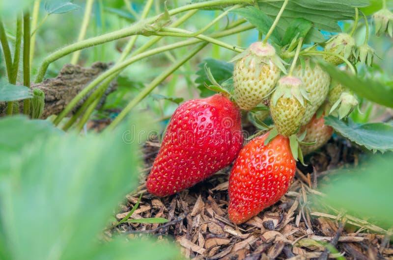 Fraises naturelles et organiques avec les feuilles vertes poussant dans un jardin ? la maison de fraise Fond vert normal Agricult photographie stock