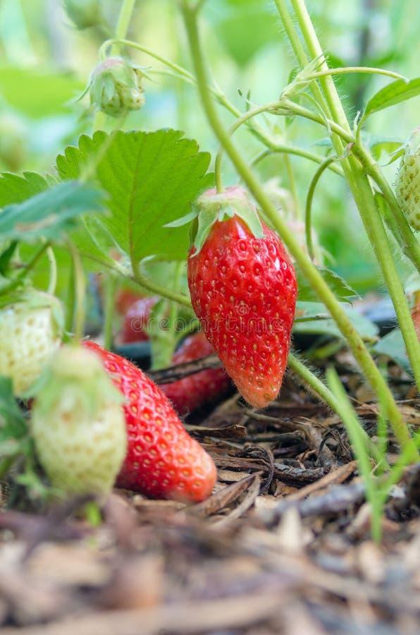 Fraises naturelles et organiques avec les feuilles vertes poussant dans un jardin ? la maison de fraise Fond vert normal Agricult photos stock