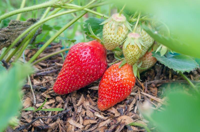 Fraises naturelles et organiques avec les feuilles vertes poussant dans un jardin ? la maison de fraise Fond vert normal Agricult photo stock
