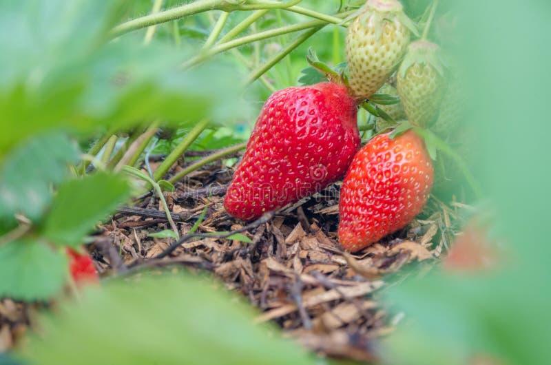 Fraises naturelles et organiques avec les feuilles vertes poussant dans un jardin ? la maison de fraise Fond vert normal Agricult images stock